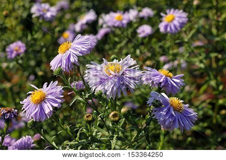 Aster amellus flowers. The flowers are lilac. The flowering period extends from July through October.