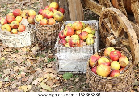 ripe pumpkins in a wooden cart and apples in a wicker basket in the yard