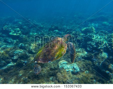 Sea turtle swimming on seashore. Green sea turtle photo in clean blue water. Sea turtle closeup. Coral reef ecosystem. Snorkeling with turtle. Philippines underwater nature fauna. Exotic animal image