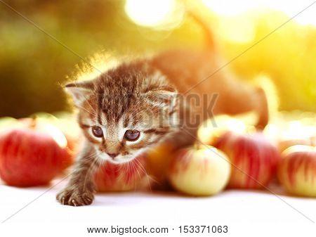 little kitten on the autumn apples background