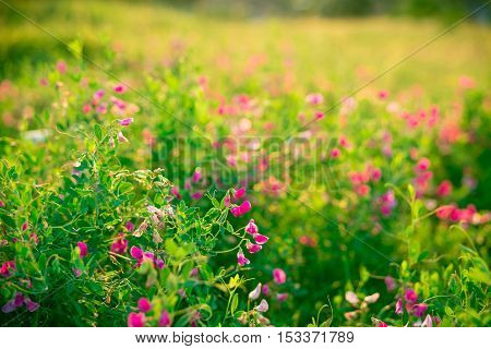 Beautiful Landscape With The Wilderness Of Herbs And Pink Wildflowers. The Idea Of The Background Of