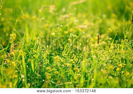 Beautiful Landscape The Wildlife. Fresh Green Grass And Yellow Wildflowers With Water Drops On The B