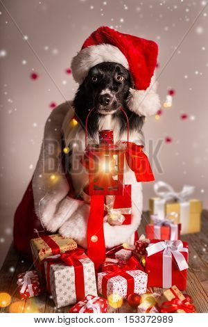 Border collie in santa outfit and christmas gifts