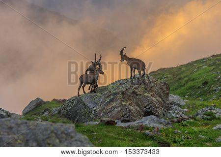 Alpine ibex (Capra ibex) in Mont Blanc France