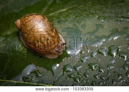 Closeup macro amber snail showing antenna on leaf