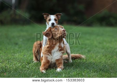 Dog Jack Russell Terrier And Dog Nova Scotia Duck Tolling Retriever And Hugging Each Other