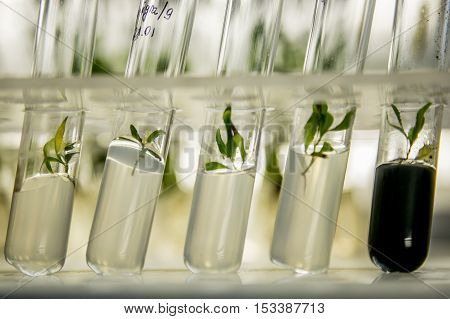 microplants of cloned poplar in vitro in a nutrient medium