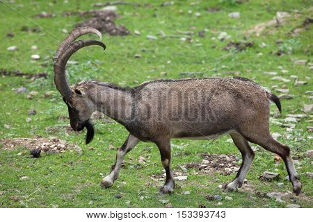 Bezoar ibex (Capra aegagrus aegagrus), also known as the Anatolian Bezoar ibex. Wildlife animal.