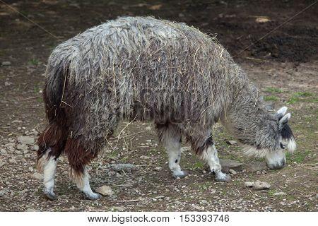 Alpaca (Vicugna pacos). Wildlife animal.