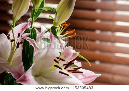 Flowers and buds pink and white lilies. Backlight. The rays of the sun through the wooden blinds. Selective focus.