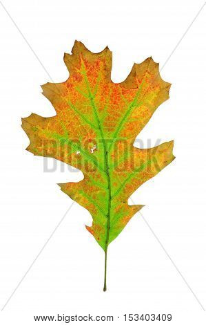 colorful autumn oak leaves isolated on white background