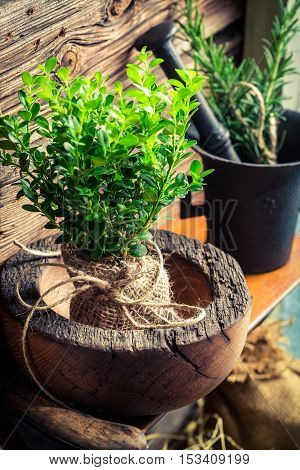 Closeup Of Small Seedling Of Tree In Wooden Mortar