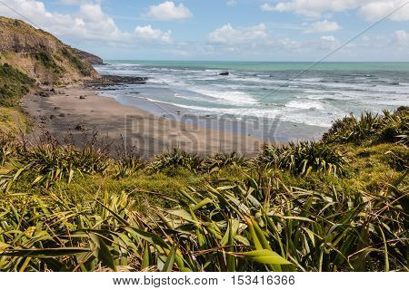 New Zealand flax growing at Muriwai beach in New Zealand
