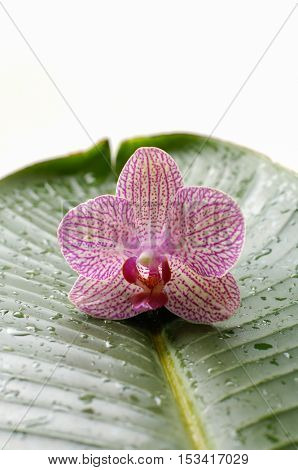 A beautiful orchid and banana leaf