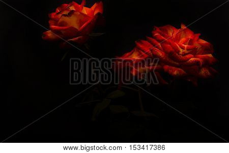 The studio photo of a red rose on a black backgroundroses on a black background
