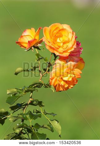 beautiful rose close up in the foreground