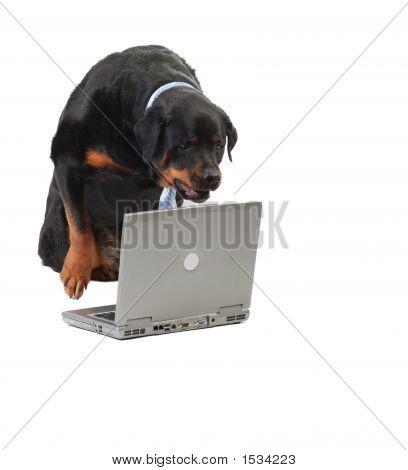 Dog Staring At The Computer