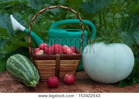 Fresh Organic Vegetables (Vegetable Marrow And Pumpkin) Wicker Basket With Red Apples And Green Watering Can On Old Wooden Painted Table In Summer Vegetable Garden.