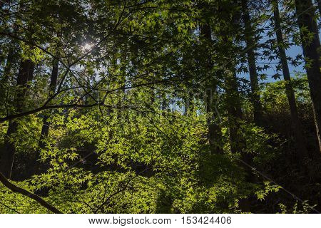 maple tree against the shining sun. light and Shadow.in forest
