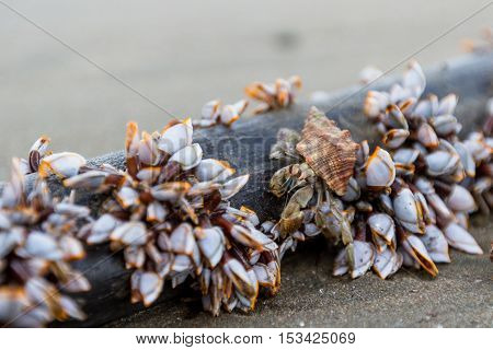 Hermit Crab And Mussels