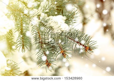 Fir tree branch covered with snow, closeup. Snowy effect, winter nature concept.