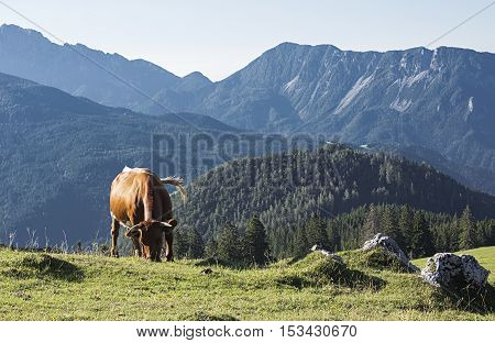 Cow is eating grass on a mountain on a fresh air.