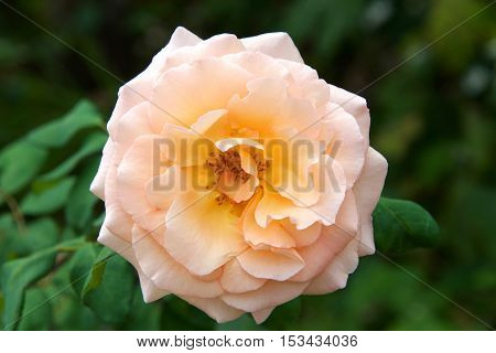 peach and yellow colored rose close up with green leaves in background