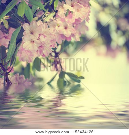 Flowering of fresh tender Rhododendron maximum pink flowers and green leaves at spring time with water reflection. Natural floral seasonal holiday background with copy space.