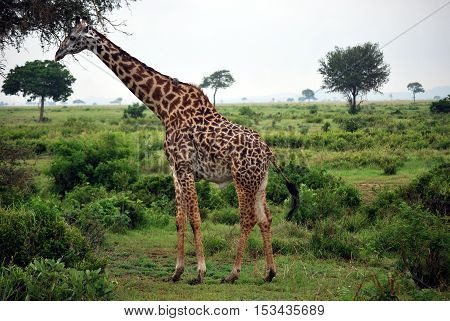 Giraffe which eats tree leaves in the Tanzanian meadow