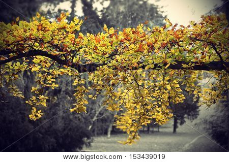 Bright yellow branch of autumn tree on black and white background vintage photo