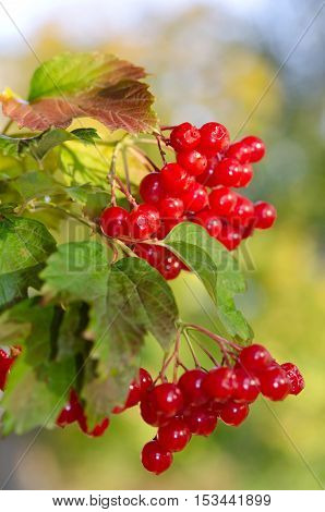 Red Viburnum berries in nature on the tree