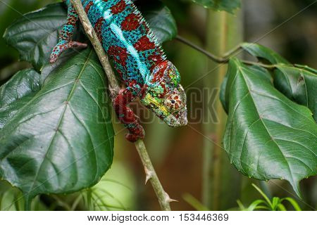 A chameleon holding on to a stick