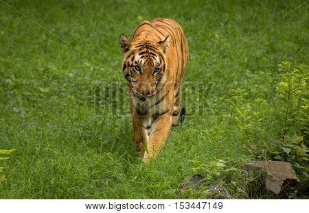 Indian Bengal tiger walks though a grassland at Sunderban tiger reserve