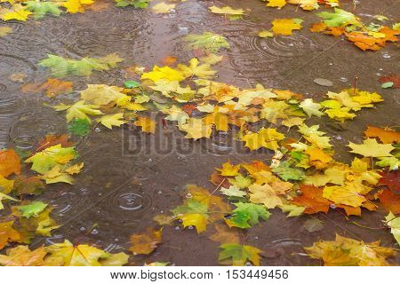 Autumn fallen leaves of maple in a puddle of water during rain