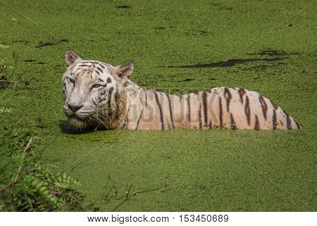 White Bengal tiger submerged in the water of a swamp at Sunderban Tiger reserve