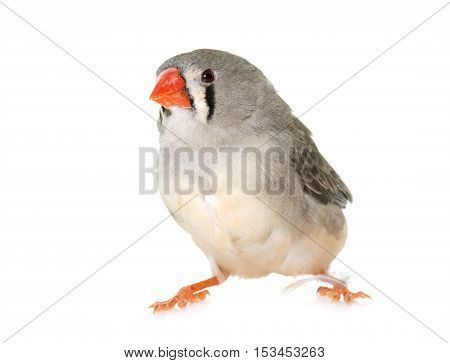 Zebra finch in front of white background