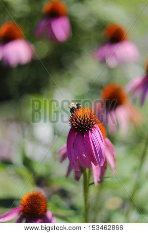 Bumblebee Pollinating Purple Echinacea Coneflower In Garden