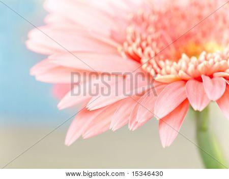 Closeup photo of pink daisy-gerbera