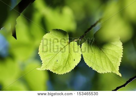 background from the leaves of linden tree at sunset on a summer evening