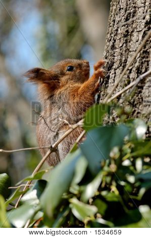 Young Squirrel