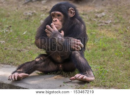 A baby Chimpanzee at a zoo in Kolkata. Among all apes chimps are considered closest to humans in behavioral traits.