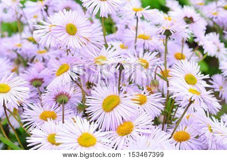 Erigeron flowers in the garden, selective focus