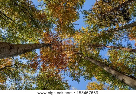 Looking up in beech tree forest in autumn.