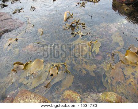 Seaweed Kelp