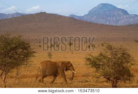Wild African Elephant walking trhough red coloured african savanna