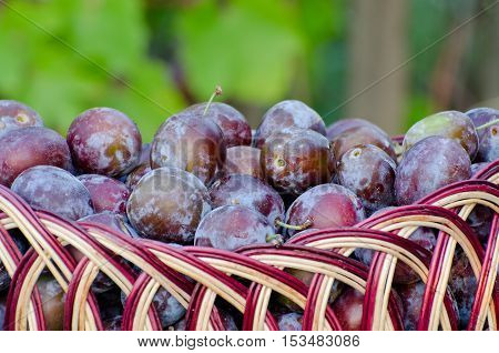 Full basket of plums close-up in the garden