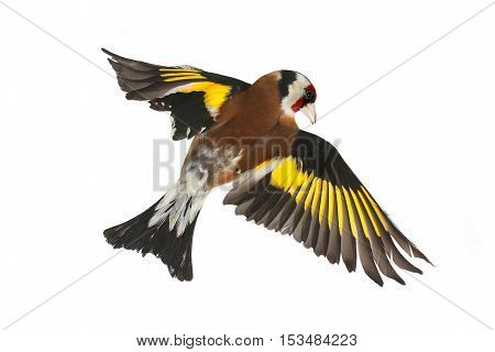 goldfinch in flight on a white background