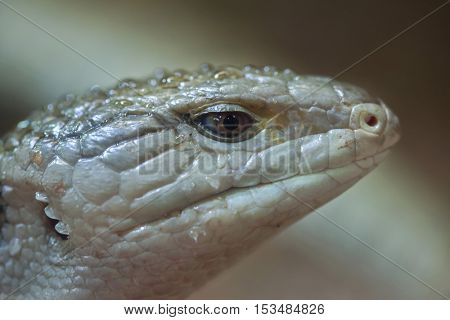 Indonesian blue-tongued skink (Tiliqua gigas), also known as the New Guinea blue-tongued skink. Wildlife animal.