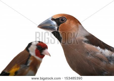 Grosbeak And Goldfinch