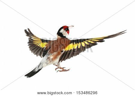 goldfinch in flight on a white background, studio shot